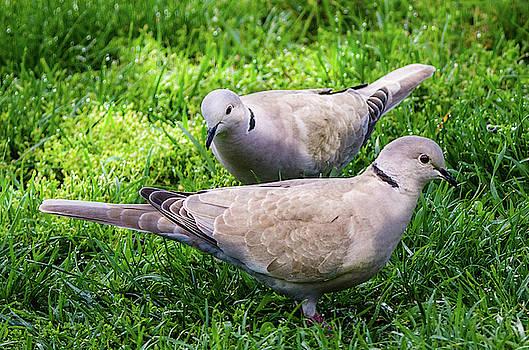 Eurasian Collard Dove by Steve Marler