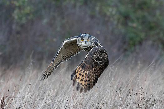 Mark Hunter - Eurasian Eagle Owl Flying