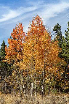 Fall Aspen by Michael Chatt