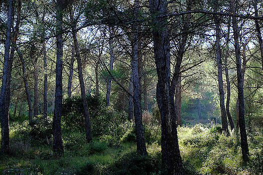Forest Light by August Timmermans