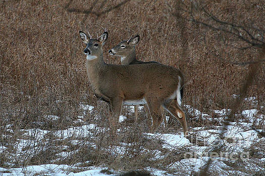 Gathering of bucks by Lori Tordsen