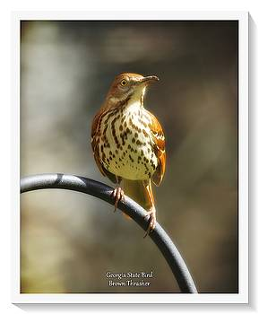 Georgia State Bird - Brown Thrasher by Robert L Jackson
