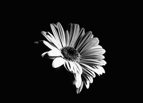 Gerbera Monochrome by Jeff Townsend