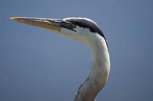 Great Blue Heron by James Petersen