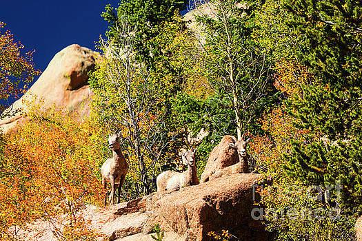Steve Krull - Herd of Bighorn Sheep