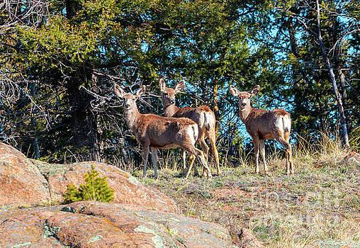 Steve Krull - Herd of Deer on the Mountainside