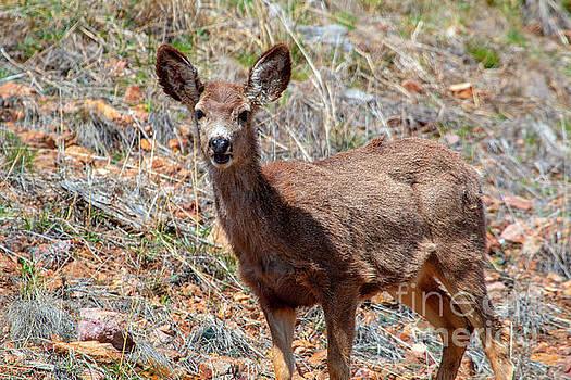 Steve Krull - Herd of Mule Deer in the Sun
