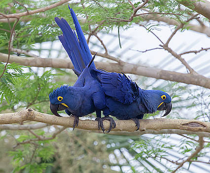 Hyacinth Macaws by Jean-Luc Baron