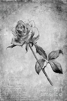 Hybrid Tea Rose by John Edwards