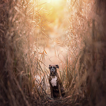 Boxer dog in the reeds by Tamas Szarka