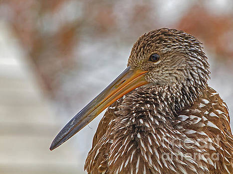Limpkin by Blair Howell