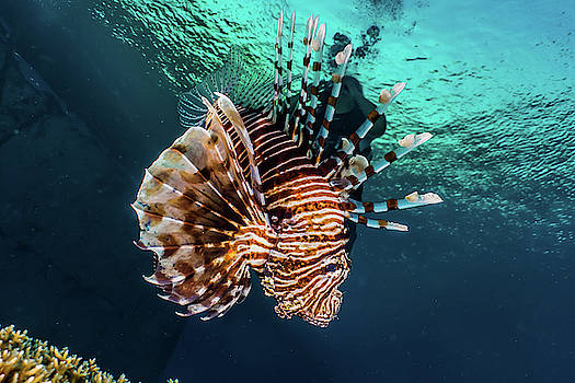 Lion fish in the Red Sea Colorful and beautiful  by Avner Efrati