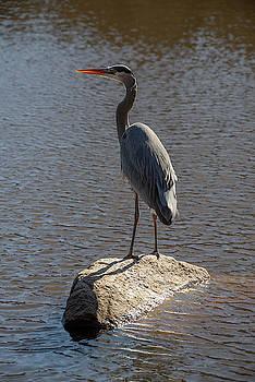 Ross G Strachan - Lost Lagoon Heron
