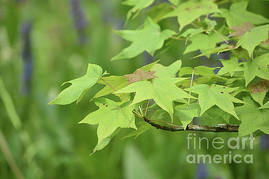 Lovely Bunch of Maple Leaves on a Tree Branch by DejaVu Designs