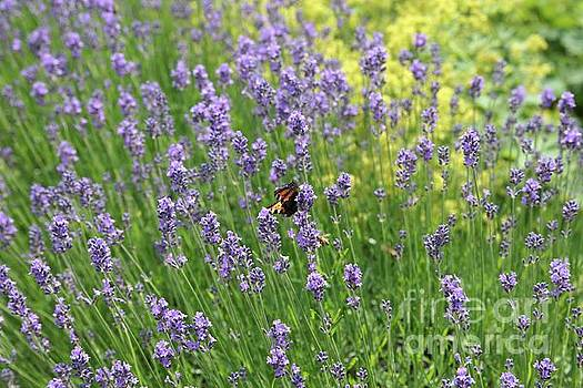 Lovely Lavender by Carol Groenen