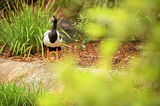 Magpie Goose out in nature by Rob D Imagery