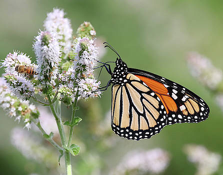 Monarch Butterfly by Jim Nelson