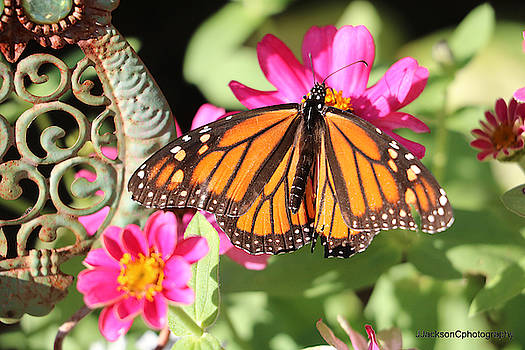 Monarch Butterfly by Jonathan Jackson Coe