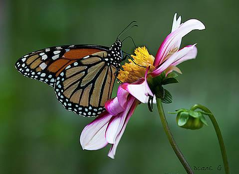 Monarch on Dahlia by Diane Giurco