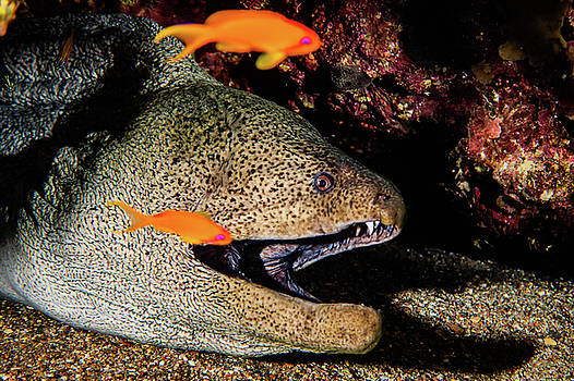 Moray eel Mooray lycodontis undulatus in the Red Sea by Avner Efrati