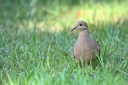 Mourning dove by David Stasiak