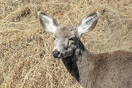 Mule Deer Doe by Michael Chatt