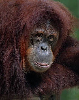 Orangutan portrait by Savannah Gibbs