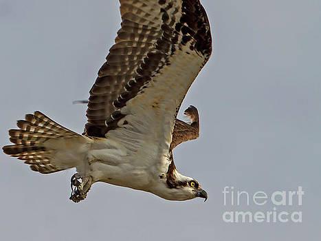 Osprey by Blair Howell