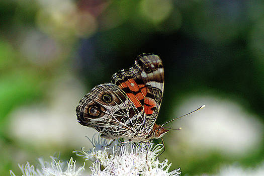 Painted Lady by Bill Morgenstern
