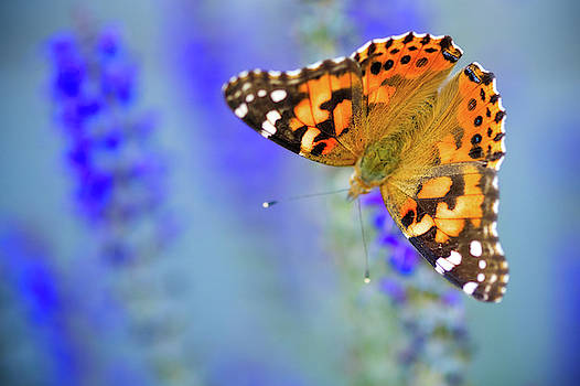 Painted Lady Butterfly by Nicole Young