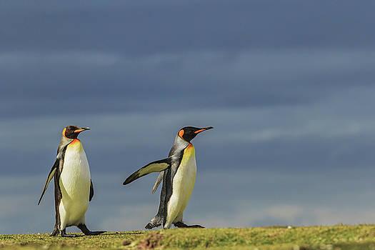 Pair Of King Penguins, Volunteer Point by Adam Jones