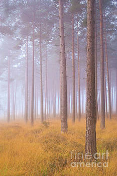 Pinewoods in mist by Colin Roberts