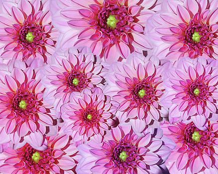 Pink Dahlia Flower Design by Johanna Hurmerinta