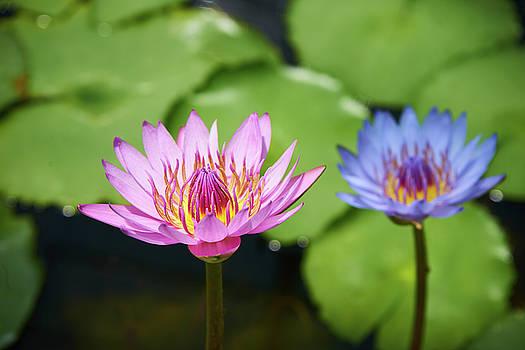 Pink lotus water flower by Lukas Kerbs