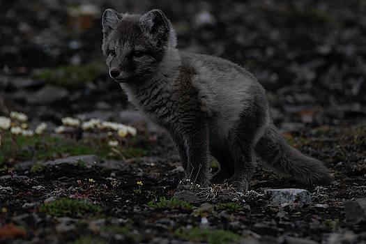 Polar Fox by Kai Mueller