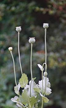 Poppies by Gillis Cone