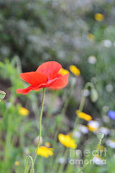 Poppy by Andy Thompson