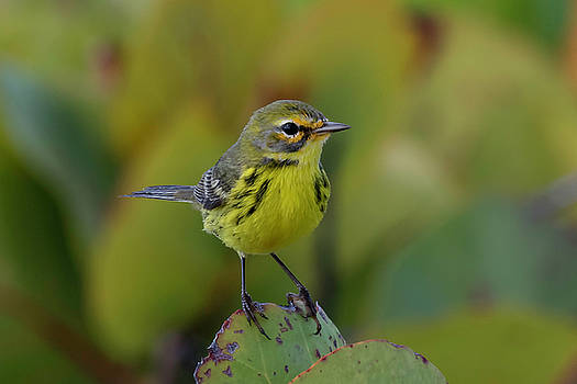 Prairie Warbler by Thomas Kallmeyer