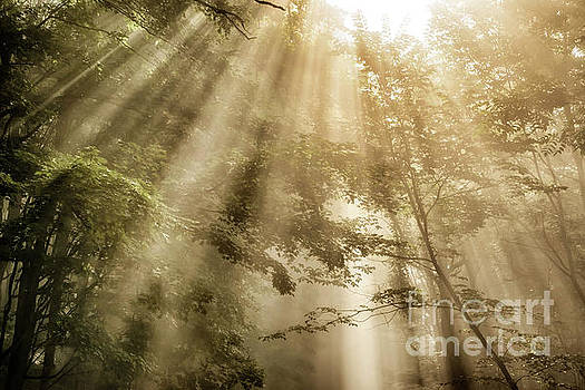 Rays of Light in Forest by Thomas R Fletcher
