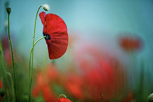 Red Corn Poppy Flowers by Nailia Schwarz