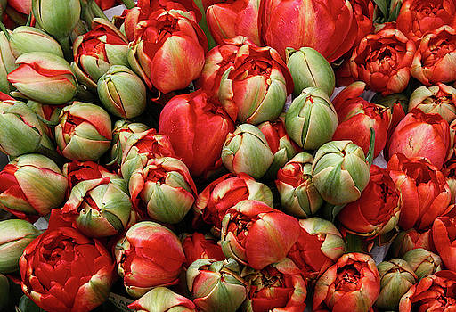 Red elegant blooming tulips  by Michalakis Ppalis