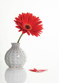 Red Gazania flower on a white stylish vase. Creative Still life  by Michalakis Ppalis
