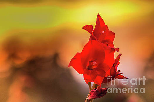 Lisa Lemmons-Powers - Red Gladiolus with a Fiery Sky