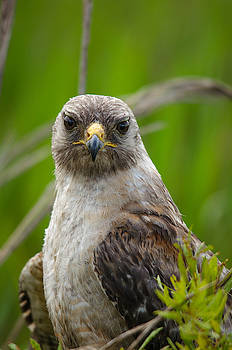 Red-shouldered Hawk by James Petersen