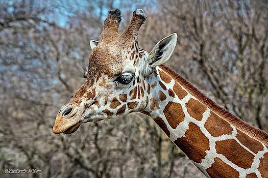 Reticulated Giraffe  by LeeAnn McLaneGoetz McLaneGoetzStudioLLCcom