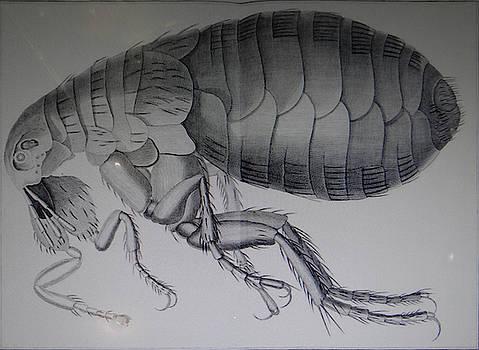 Scientific drawing of a flea by Steve Estvanik