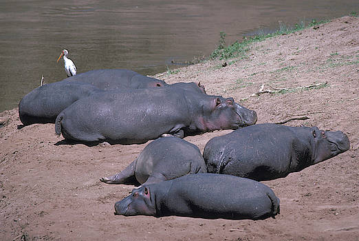 Sleeping Hippos on Mara River by Carl Purcell