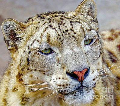Snow Leopard in a Gaze by Susan Rydberg