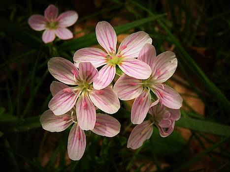 Spring Beauty Wildflowers  by Lori Frisch