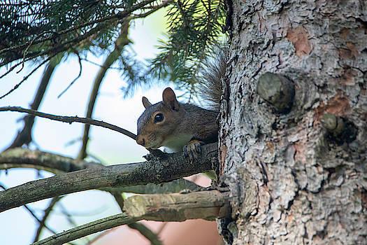 Squirrel by David Stasiak